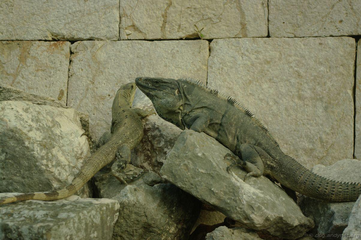 Iguana's kiss